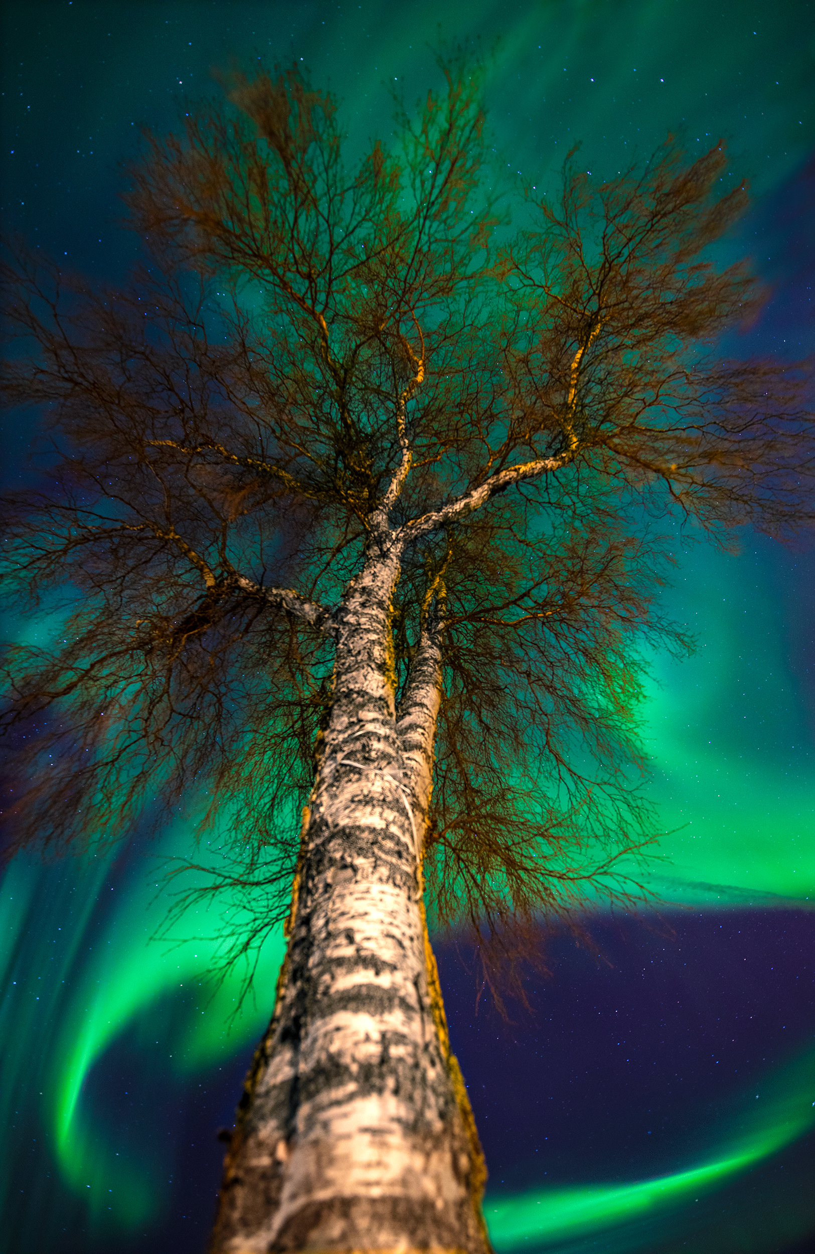 Northern light behind the tree